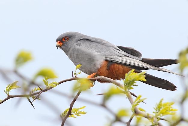 Très gros plan portrait de faucon à pattes rouges se trouve sur une branche