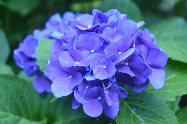 Très jolies fleurs d'hortensias bleu foncé en fleurs sur un buisson.