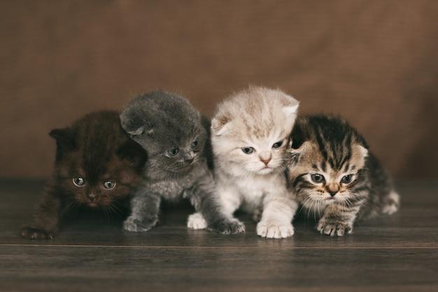 De très jolis chatons britanniques de belles couleurs sont assis sur un plaid