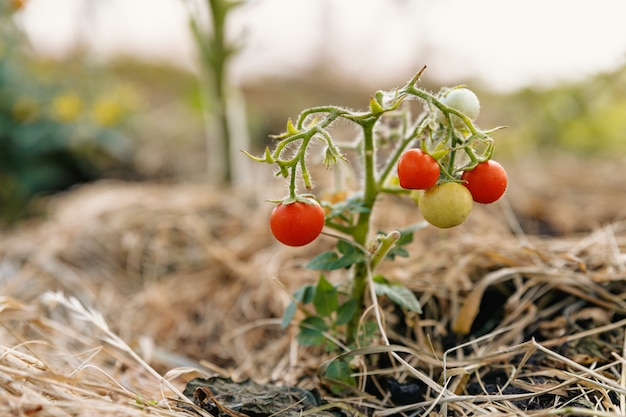 Un très petit buisson avec de minuscules tomates vertes et rouges pousse dans le sol recouvert de paille.
