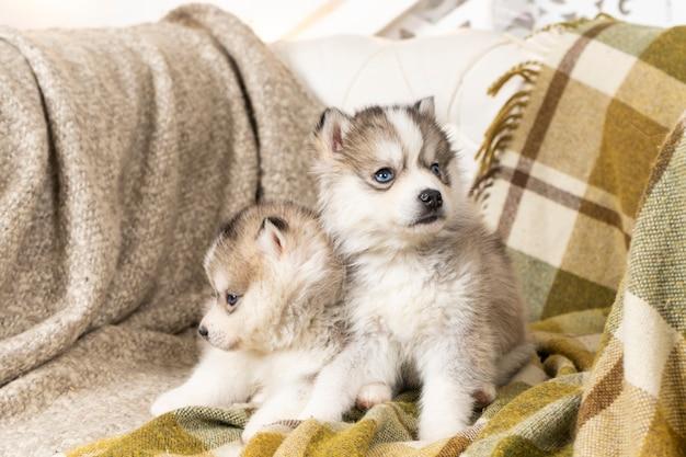 Très petits chiots husky. ils sont assis sur une couverture texturée vert clair. sur la grande chaise. copyspace