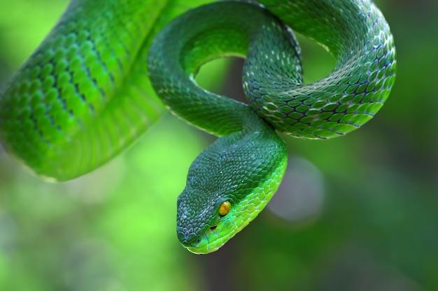 Trimeresurus albolabris, serpents insulaires aux lèvres blanches, serpents vipères verts