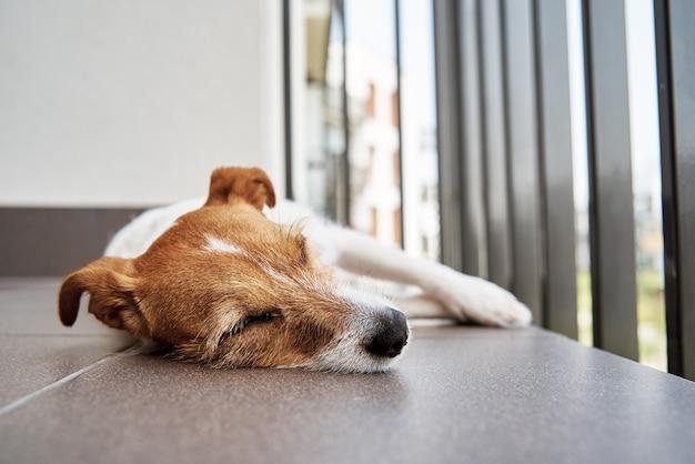 Triste chien fatigué sur le floow dormir jack russell terrier