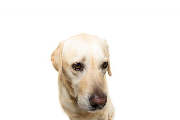 Le triste labrador retriever a été puni. isolé.