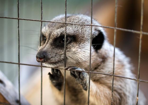Triste petit suricate dans un zoo de contact concept des droits des animaux gros plan vue de face