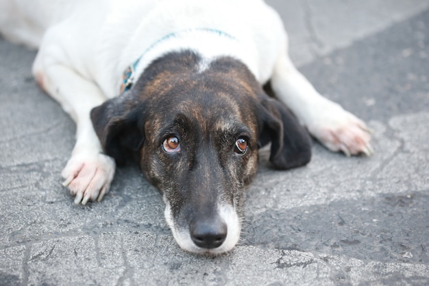 Tristesse chien dormir sur le sol et lever les yeux