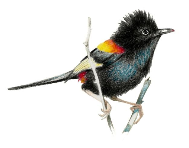 Troglodyte à dos rouge assis sur une branche. dessin au crayon de couleur