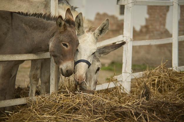 Trois ânes dans une ferme biologique destinés à manger du foin et de la paille