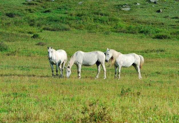 Trois animaux blancs parmi l'herbe le matin. altaï, sibérie, russie