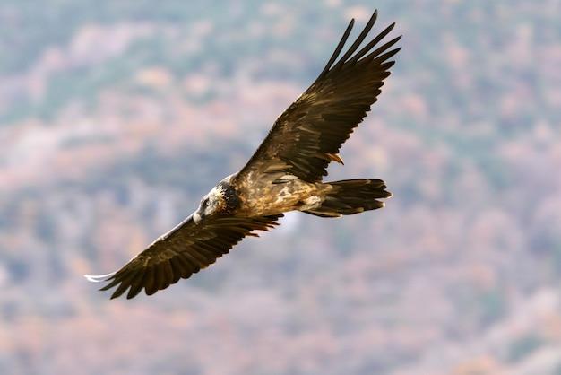 Trois ans de vol de lammergeier, charognard, vautours, oiseaux, faucon, gypaetus barbatus