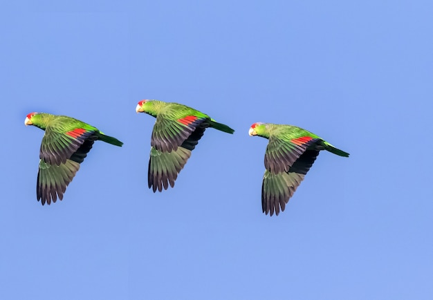Trois aras dans une rangée volant dans le ciel bleu, des perroquets volant dans le ciel