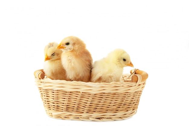 Trois bébé poulet à l'intérieur d'un panier isolé sur blanc