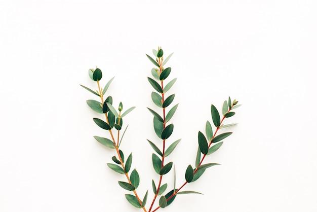 Trois branches d'eucalyptus sur fond blanc, modèle de conception