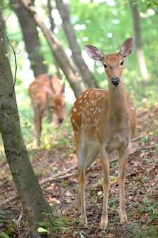 Trois cerfs en alerte sur une pente dans les bois. mâle femelle et petit cerf.