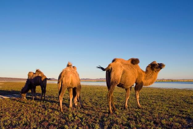 Trois chameaux mangeant de l'herbe dans une nature pittoresque.