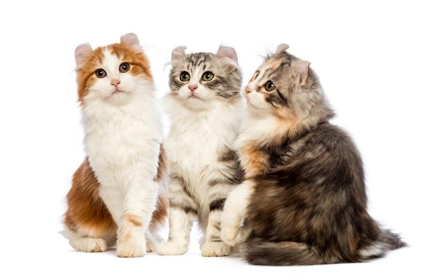 Trois chatons american curl (3 mois) assis, levant les yeux et regardant
