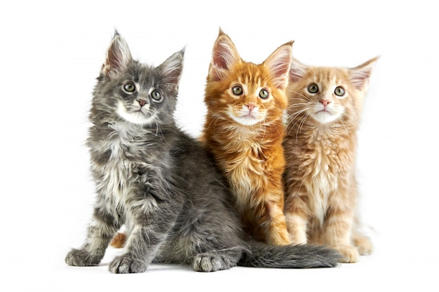 Trois chatons maine coon, isolés