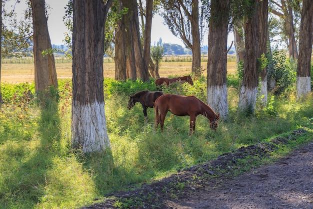 Trois chevaux paissent entre les arbres près de la route, kirghizistan