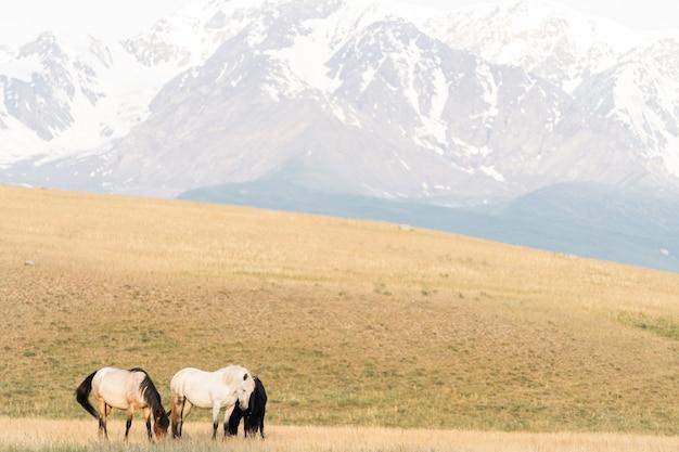 Trois chevaux se tiennent sur la pelouse dans les montagnes. trois chevaux sauvages sur fond de paysage de montagne