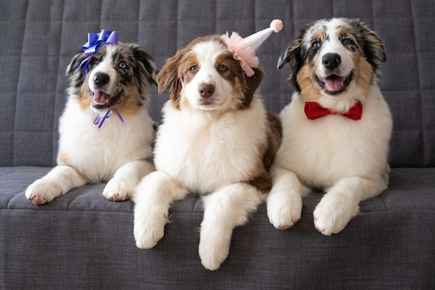 Trois chien chiot drôle de berger australien rouge bleu merle portant chapeau de fête, noeud de ruban, noeud papillon. sur le canapé.