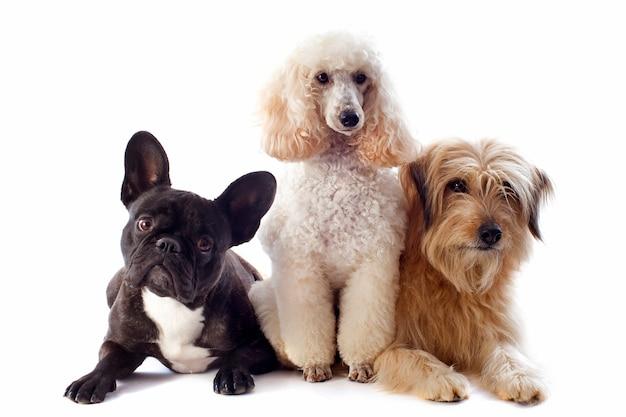 Trois chiens sur blanc