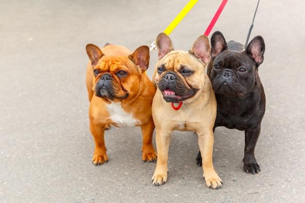 Trois chiens domestiques de race bulldog français