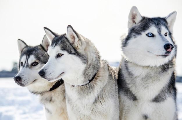 Trois chiens husky de sibérie regarde autour de lui. les chiens husky ont une robe noire et blanche.