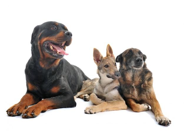 Trois chiens en studio