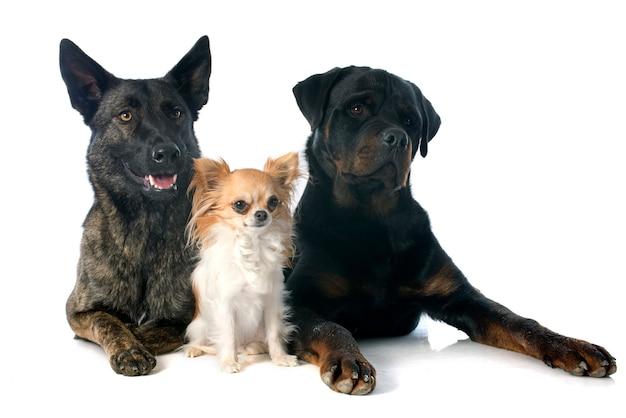 Trois chiens
