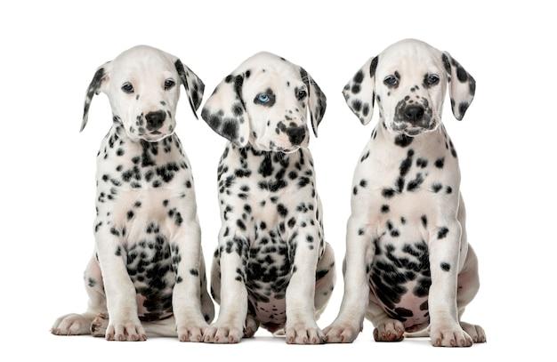 Trois chiots dalmatiens assis devant un mur blanc