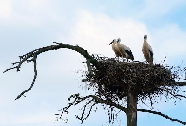 Trois cigognes se tiennent dans leur nid haut sur un pin tordu