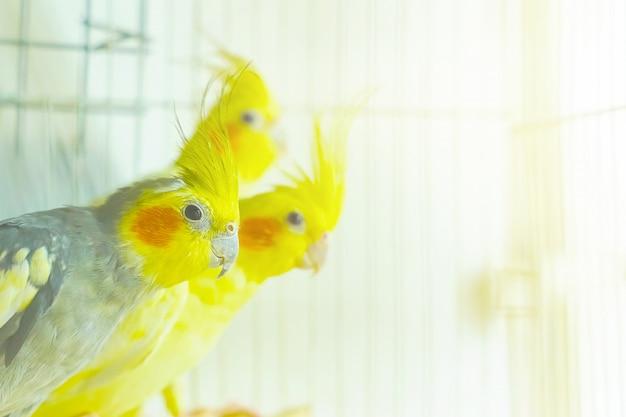 Trois corrals de perroquets s'assoient et se balancent dans une cage
