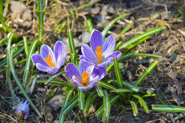 Trois crocus printaniers violets poussant dans l'herbe se bouchent