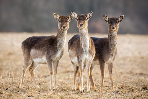 Trois daims biche sur un pré à la recherche attentive