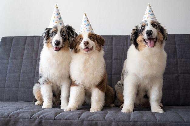 Trois drôle de chien chiot berger australien bleu merle portant un chapeau de fête. trois couleurs. sur un canapé gris.