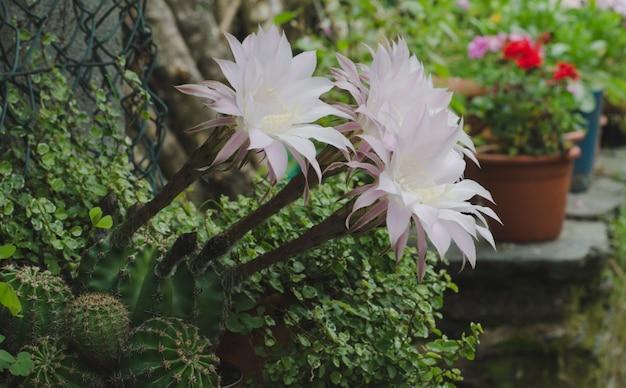 Trois fleurs de cactus nouvellement fleuries.