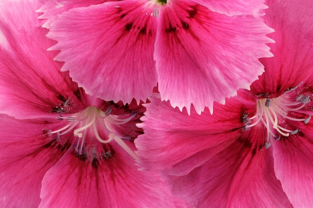 Trois fleurs d'un oeillet de jardin rouge