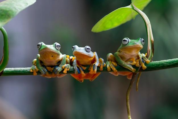 Trois grenouille d'arbre de javan sur la branche assise