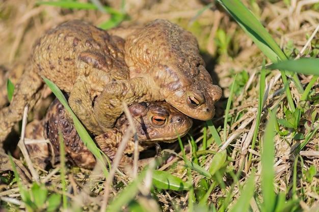 Trois grenouilles brunes communes européennes (rana temporaria) s'accouplent pendant la saison des amours.