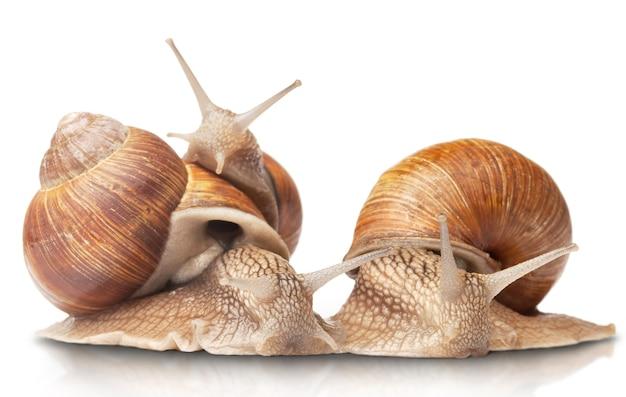 Trois gros escargots isolés sur blanc