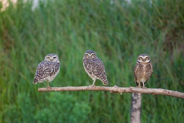 Trois hiboux sur une branche en bois symbole de sagesse et d'intelligence