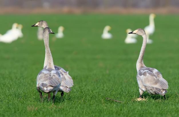 Trois jeunes cygnes chanteurs filmés sur un champ de blé vert clair en vacances.