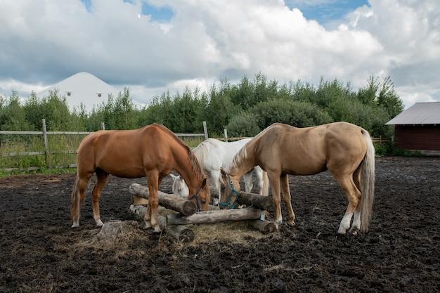 Trois jeunes juments de race pure debout par auge en bois et manger au rancho ou sur le terrain le jour d'été