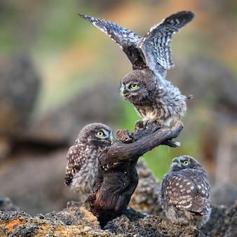Trois jeunes petits hiboux assis près du nid sur un bâton