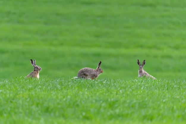 Trois lièvre mignon assis dans l'herbe de printemps. scène de la faune de la nature. animal sur la prairie