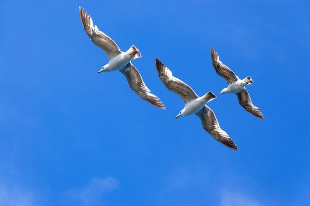 Trois mouettes sur ciel bleu