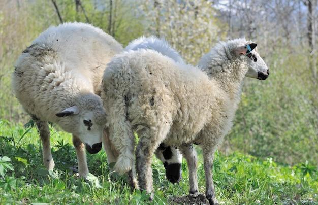 Trois moutons mignons