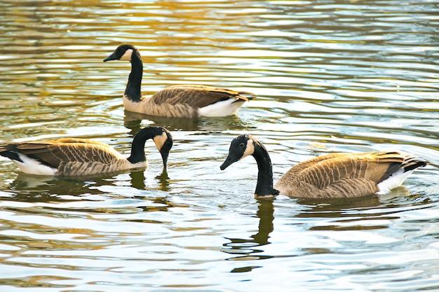 Trois oies grises nagent dans l & # 39; étang