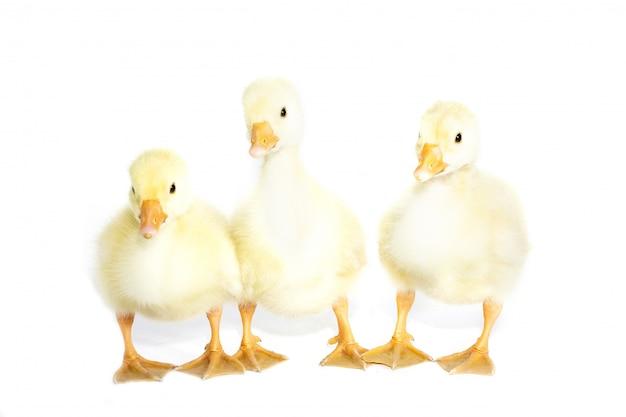 Trois oies jaunes sur fond blanc