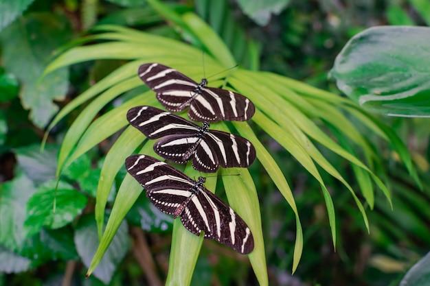 Trois papillons longiles zébrés (heliconius charithonia)